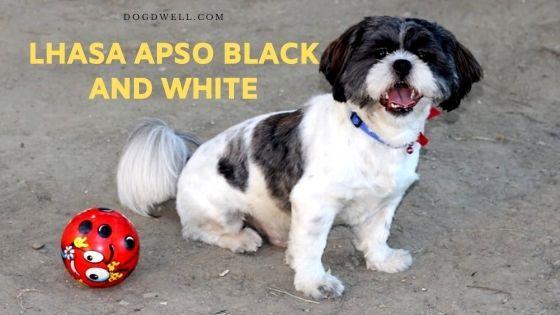 lhasa apso black and white
