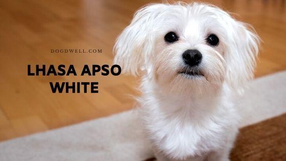 lhasa apso white