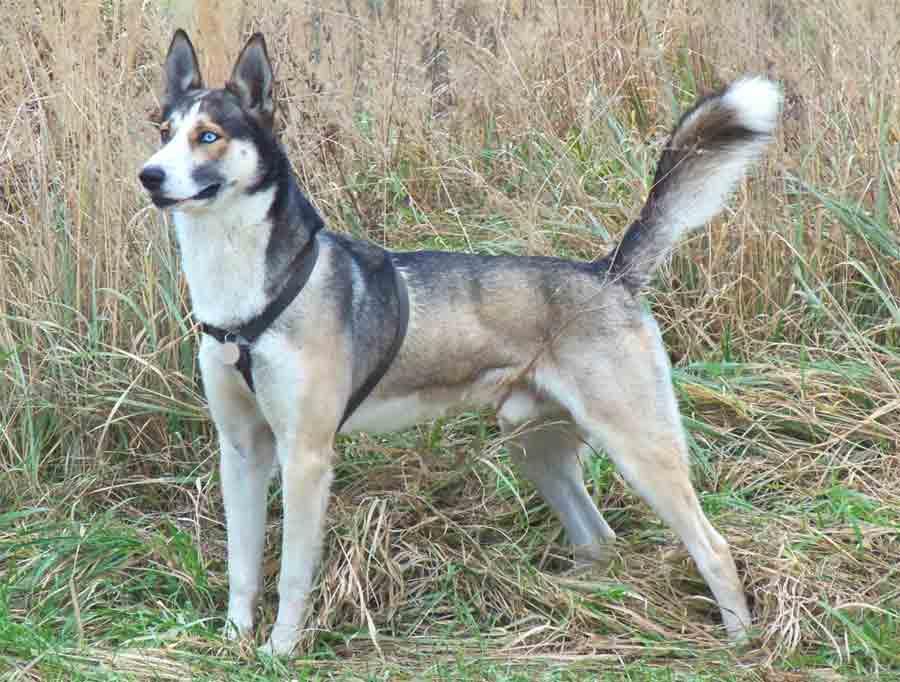 eurohound dog