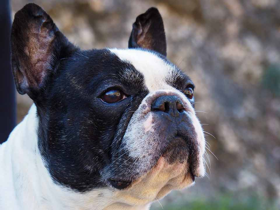 french bulldog mixed with boston terrier boston terrier cross french bulldog french bulldog mixed with a boston terrier boston terrier cross french bulldog for sale boston terrier mixed with a french bulldog french bulldog pug boston terrier mix