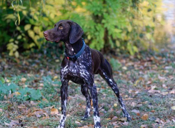 German English Pointer