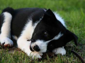 Lapponian Herder Puppies