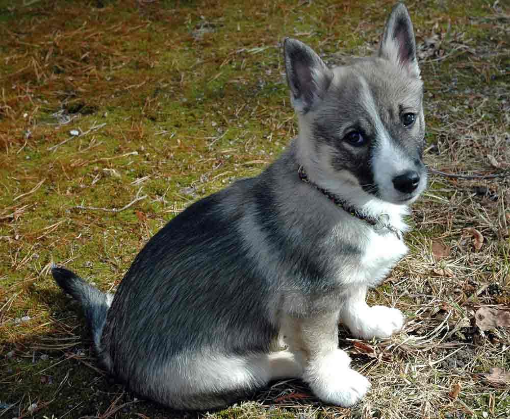 Swedish Vallhund Puppies