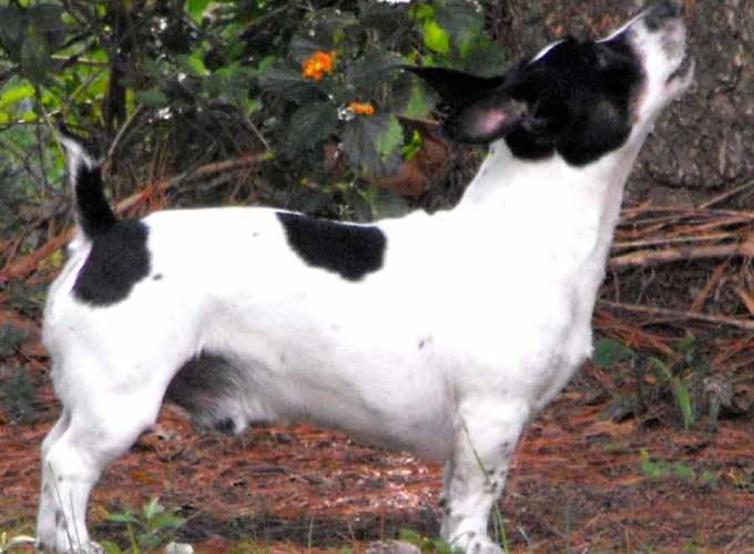 teddy roosevelt rat terrier