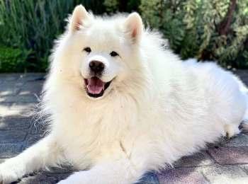 White Samoyed