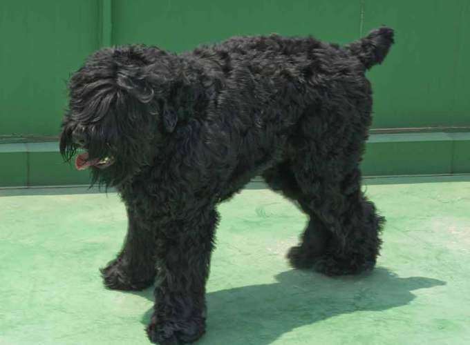 Black Russian Dog