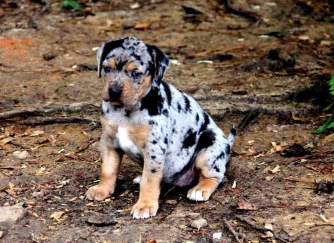 Catahoula Leopard Puppy