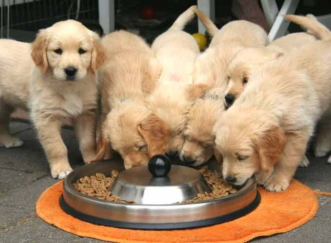 how to feed a puppy
