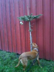 Kolla! En fågelmatsgran!
