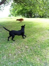 Aha! En röd hund! Den skall jag ta!