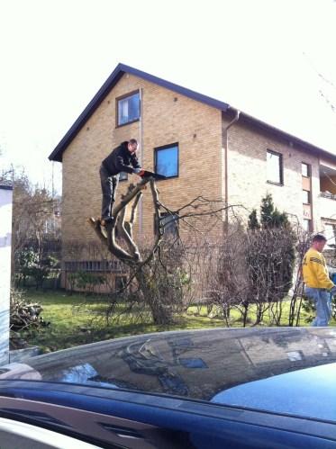 Träden i stan måste också sågas ner.
