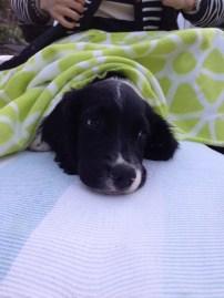 Hector (9 veckor) vilar lite under filten.