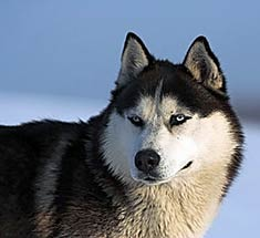 https://i1.wp.com/www.doggies.com/images-new/breed-guide-dog-photos/alaskan_husky.jpg
