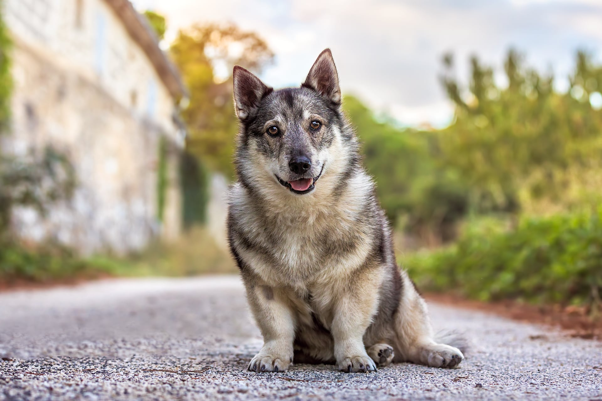 Swedish Vallhund Dog in France