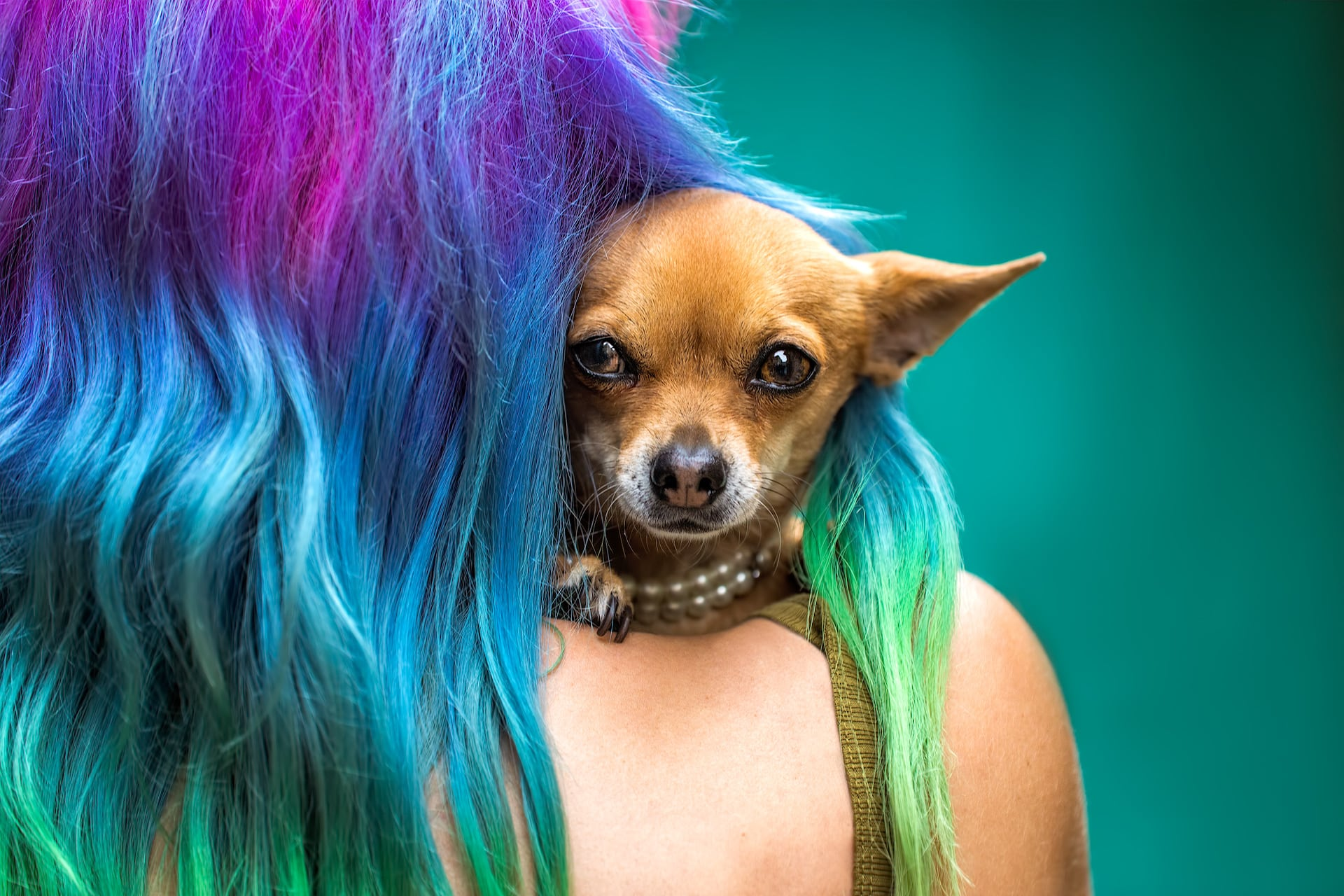 Chihuahua France Colorful Hair