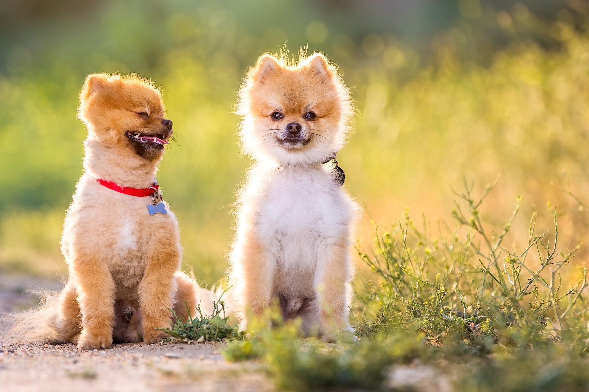 Pomeranian dogs Los Angeles dog photographer