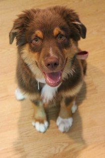 13 Week Old Australian Shepard in puppy classes at Dog-Gone Capable LLC