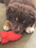 10 week old Australian Shepard at puppy training