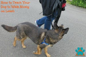 how-to-teach-your-dog-to-walk-nicely-on-leash