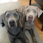 Some Puppy Training Tips And Tricks Help A Pair Of Lab Brothers Behave Better Dog Gone Problems