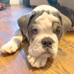 Potty Training And Chewing Tips For A English Bulldog Puppy In Santa Monica Dog Gone Problems