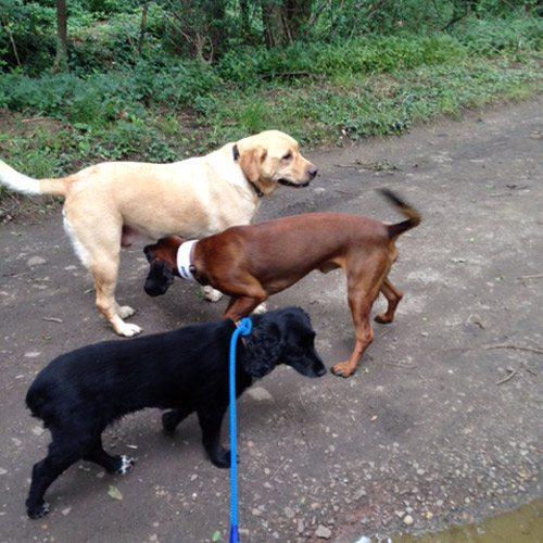 three dogs walking along path