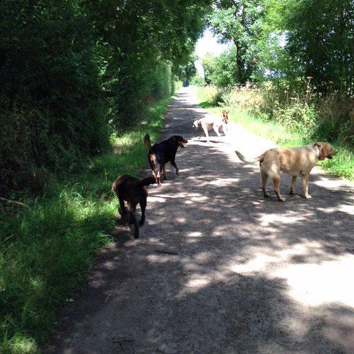 woodlane dog walking stamford