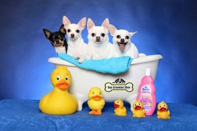 Chihuahuas in bath