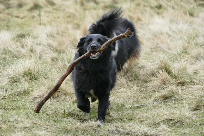 Olive manages to find a stick at Cym Idwal, Snowdonia