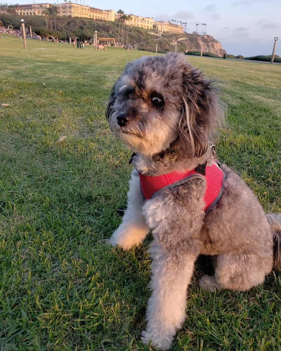 Husky Poodle mix with red harness standing on grass field