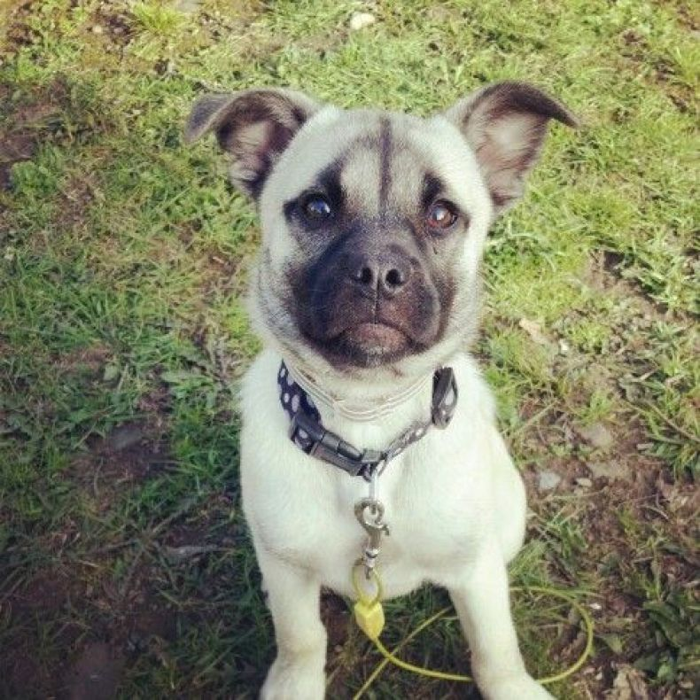 Husky Pug Mix standing on grass looking at camera