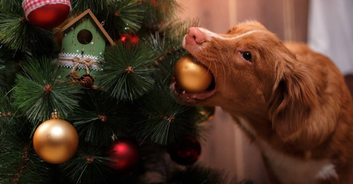 Image result for image, photo, picture, dog, Eaten decorations off the Christmas tree