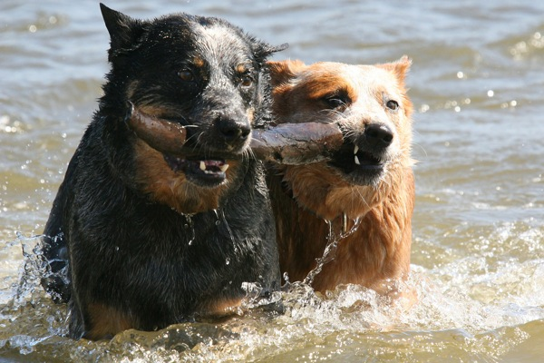 Cattle dogs swimming