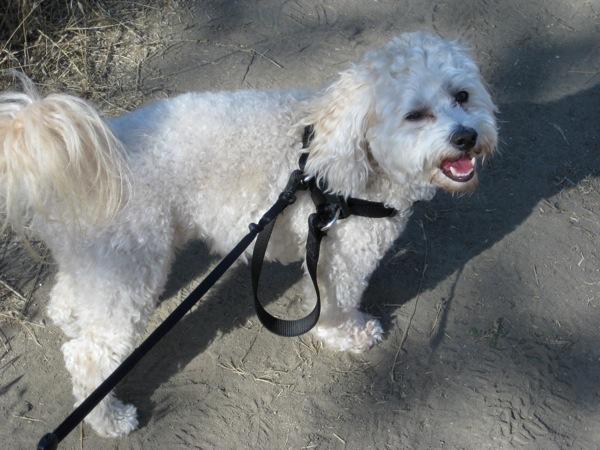 Sid on leash