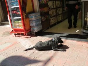 Istanbul street Dog