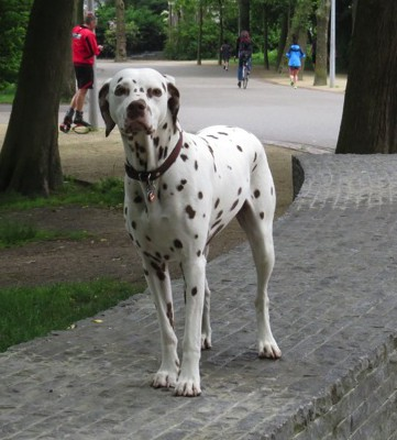 A big dog watching and waiting patiently in a public park.