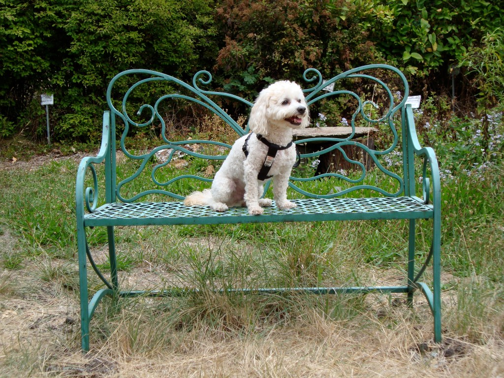Butterfly bench Cockapoo
