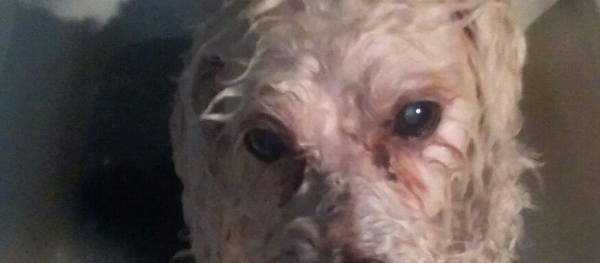 Bossy White Poodle Hates Baths