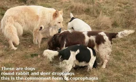 dogs coprophagia