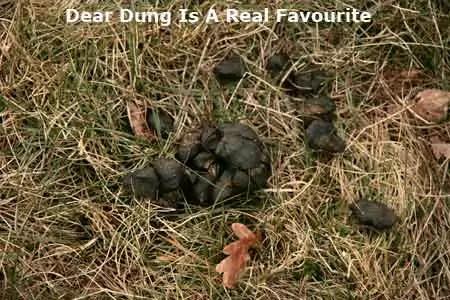 deer dung
