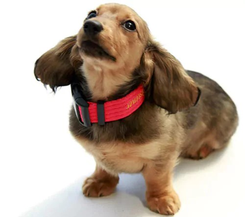 Flossie My Dachshund with on of my collars on when she was a puppy