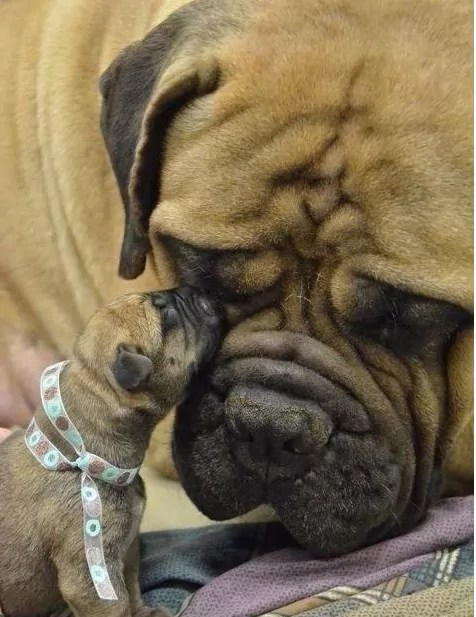 Mastiff with six week old puppy. RSPCA neuter them at this age