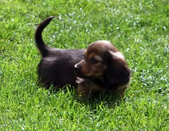 Pipsqueak My Daughters puppy Dachshund