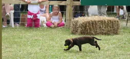 12 week puppy retrieving a tennis ball