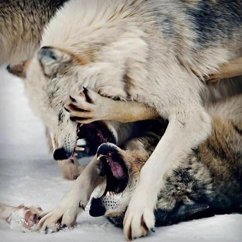 Dominance and Alpha Behaviour Doglistener