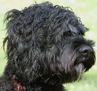 Portuguese Water Dog Hypoallergenic