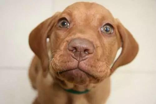 Puppy Visla