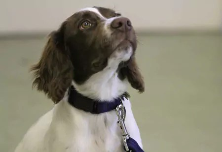 Young Springer giving great eye contact at Stan Rawlinsons Puppy Classes
