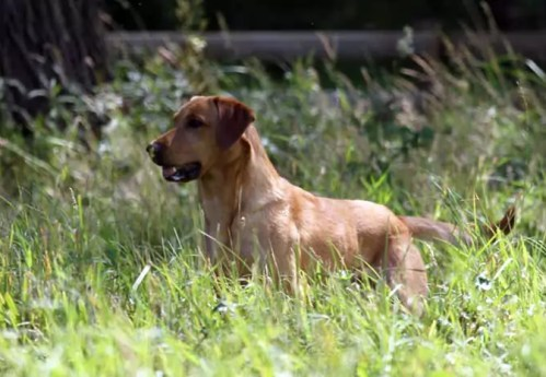 Labrador in Woodland and Meadow