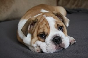Vets Investigating Potentially Fatal 'Toxic Shock' Dog Disease 3